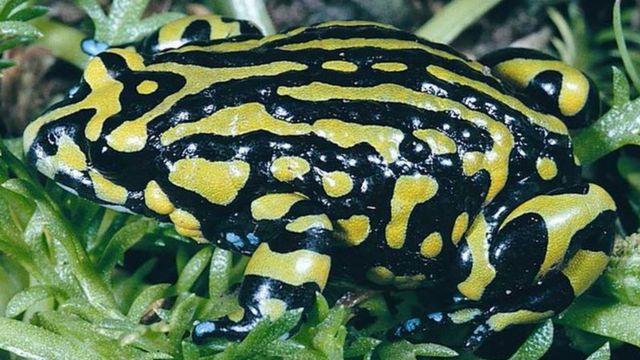 Northern corroboree frog