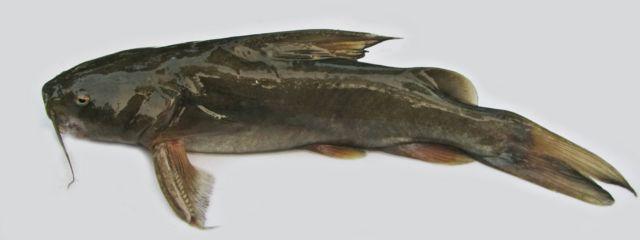 রিটা মাছ