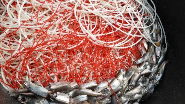 Peixes em rede de pesca na Groenlândia