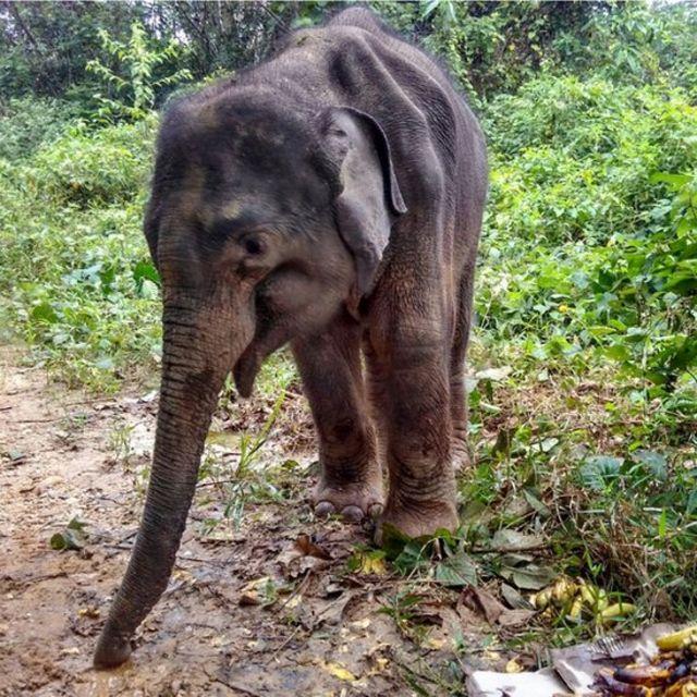 Gajah Aceh
