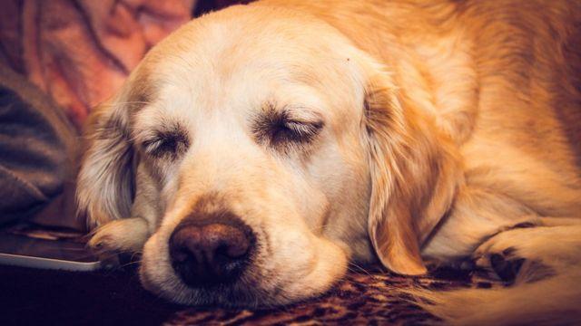 Спящий золотой ретривер.