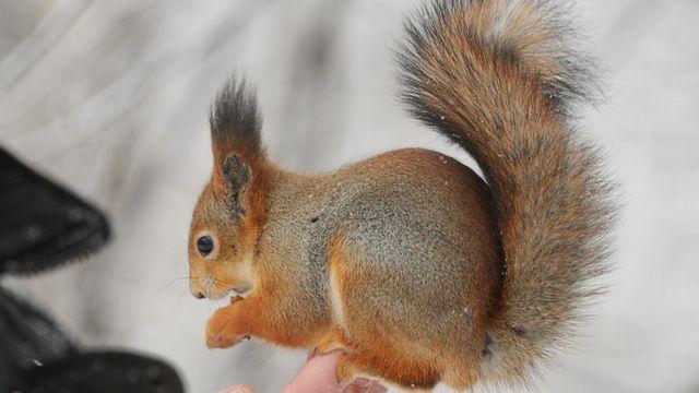 Male squirrels