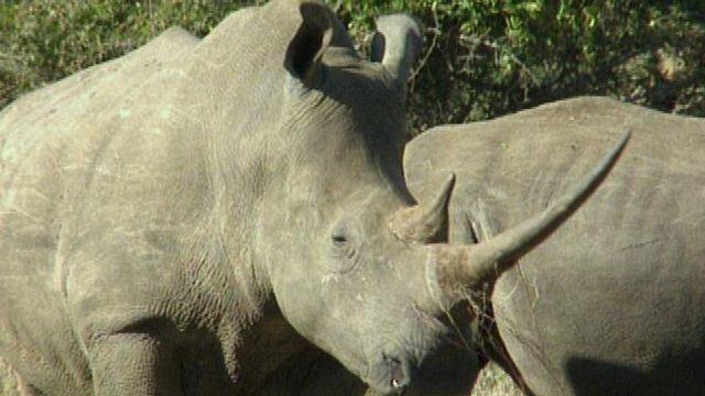 L'objectif est de faire comprendre aux braconniers qu'il n'y a plus de corne de rhinos dans le pays.