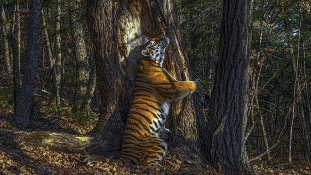 نمر يحتضن جذع شجرة