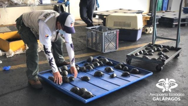 A man puts tortoises seized during a search at an airport on a tray