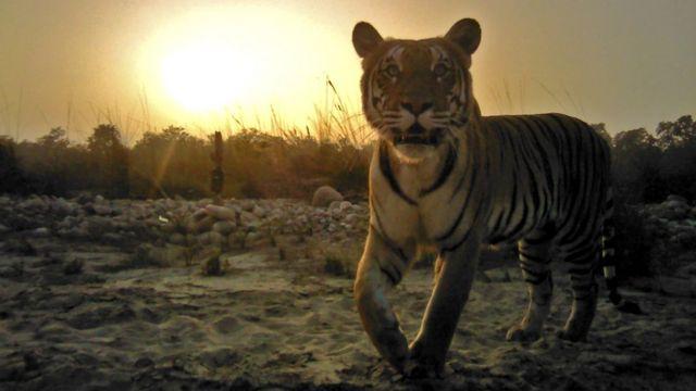 ใครจะไปคิดว่า เสือในเนปาลเคยเกือบสูญพันธุ์ แต่วันนี้ กลับอยู่เต็มผืนป่า
