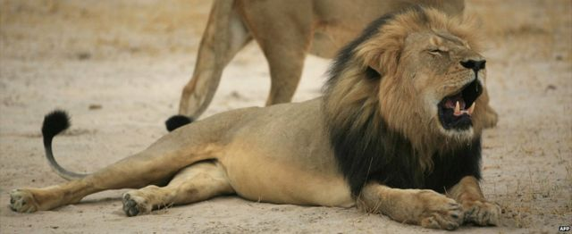 Cecil the lion pictured in Zimbabwe's Hwange National Park - 21 October 2012