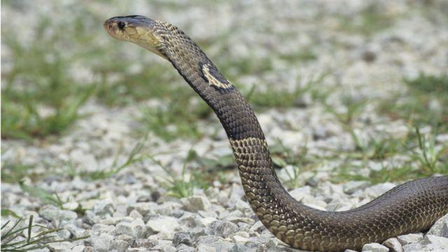 Un cobra de monóculo o cobra asiática (Naja kaouthia).
