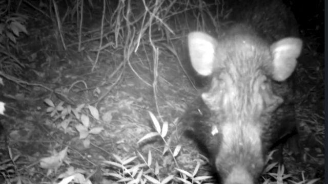 Imagen del cerdo verrugoso de Java capturado con una cámara oculta.
