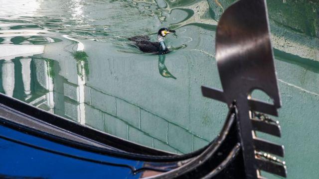 Pato en los canales de Venecia.
