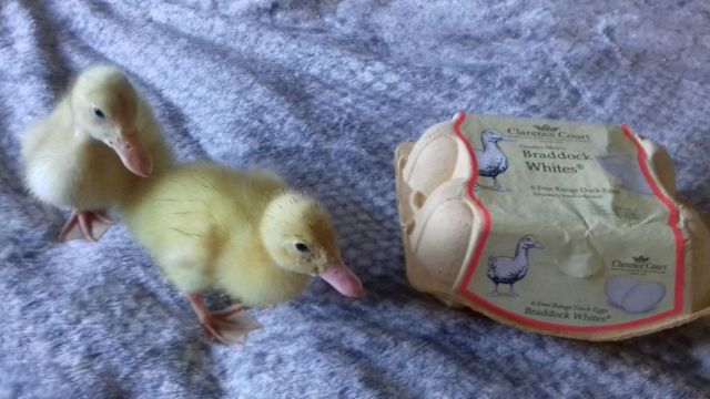 Two of the ducklings with the box of eggs in which they started life