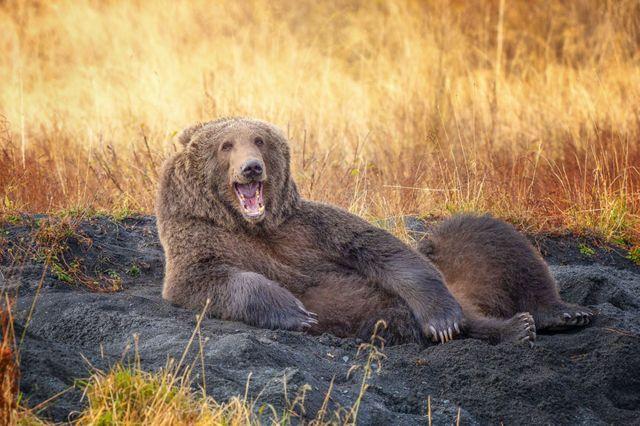 Un osos pardo en Alaska