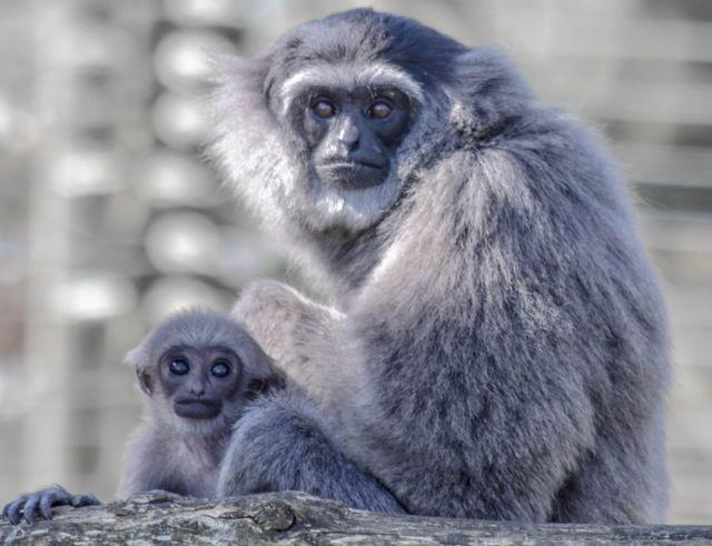 Madre e hijo gibón mirando a la cámara