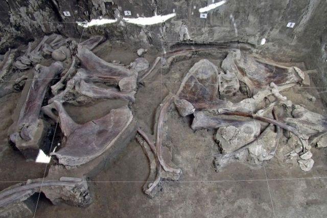 Colección de huesos de mamut en la excavación de Tultepec