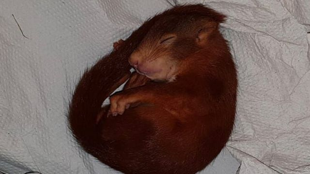 A baby squirrel photographed by German police after it chased a man down the street