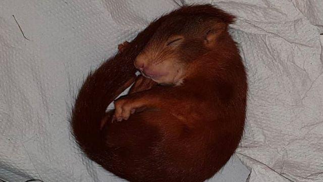 Foto do bebê esquilo tirada pela polícia alemã