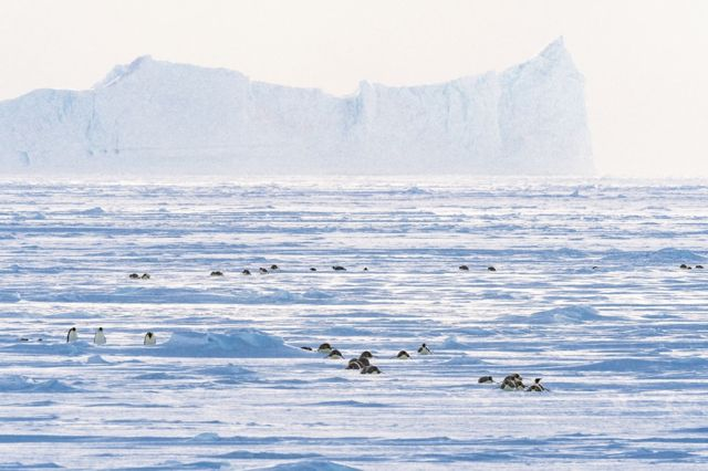 A wide landscape with penguins walking on the ice