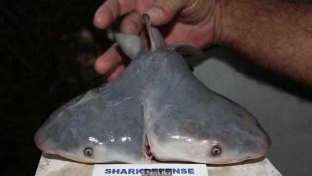 Fetus hiu banteng berkepala dua ini ditemukan di Teluk Meksiko.