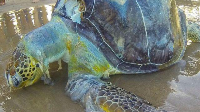 una tortuga muerta