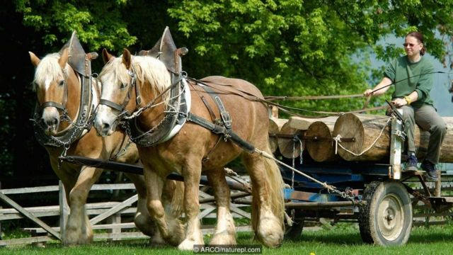 लकड़ी ले जाते घोड़े