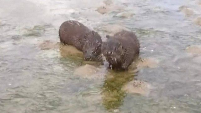 The otters were filmed on the shores of Strangford Lough