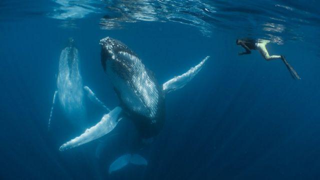 Ballenas jorobadas nadando