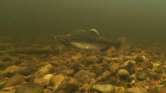 Invasive pink salmon could return to Scottish rivers