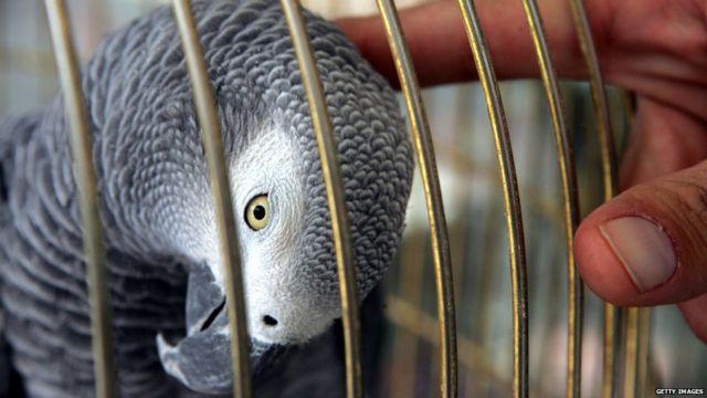 Papagaio cinza africano engaiolado
