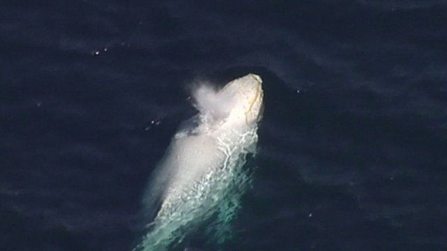 The white whale spotted off Australia's Gold Coast