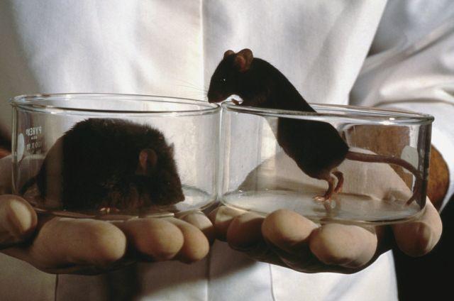 Лабораторные мыши