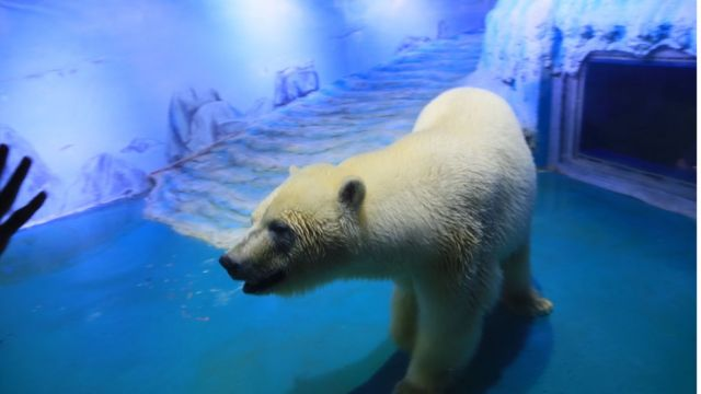 Pizza, beruang kutub
