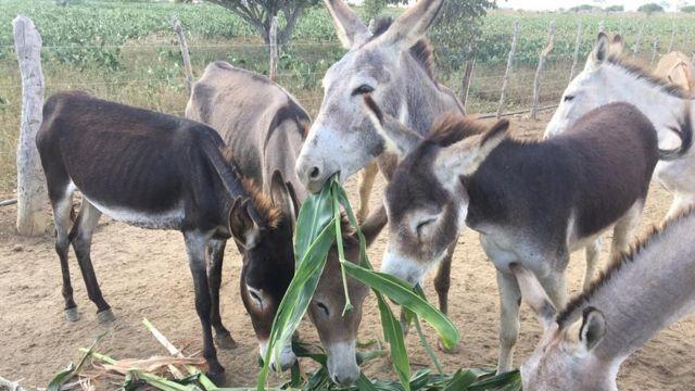 Jumentos comendo na fazenda em Canudos