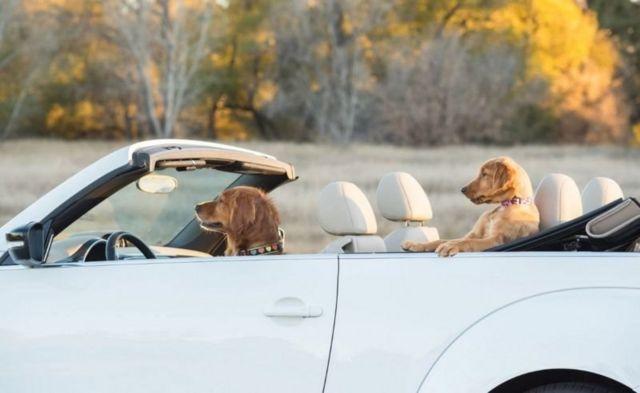 Araba içerisindeki iki köpek.