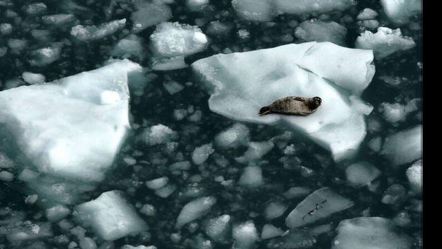 Foca sobre gelo no Ártico