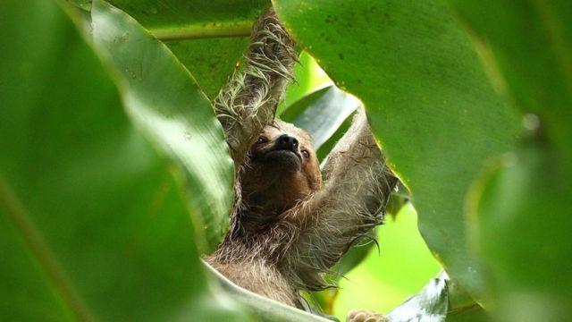 Bicho-preguiça entre folhas