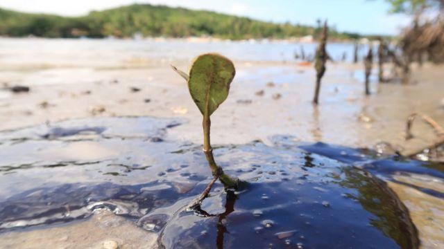 Plantas no mangue em Rio Massangana, Suape (Pernambuco)