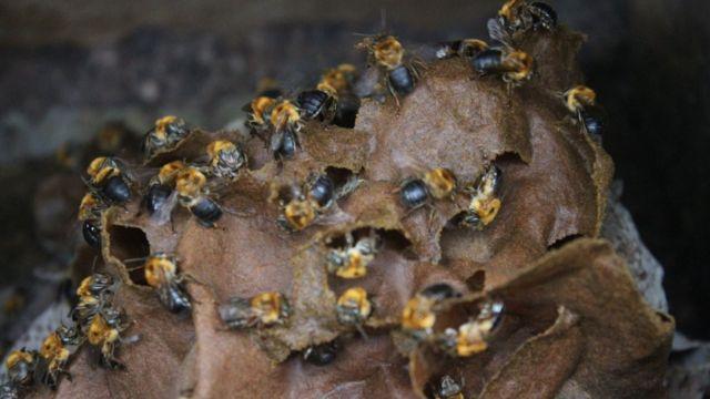 Colmeia de abelha nativa sem ferrão na Chácara João do Mel, em Belterra
