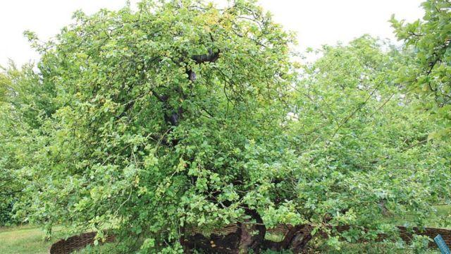 Яблоня, под которой сидел Ньютон