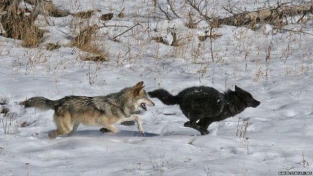 สุนัขป่ากำลังเล่นกัน ที่อุทยานแห่งชาติเยลโลว์สโตน