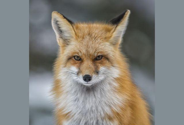 الثعلب الأحمر