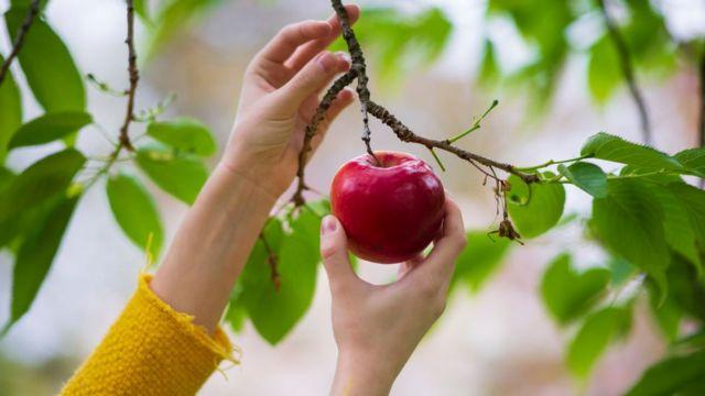 ثمرة تفاح