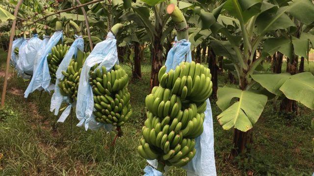Bananos en camino