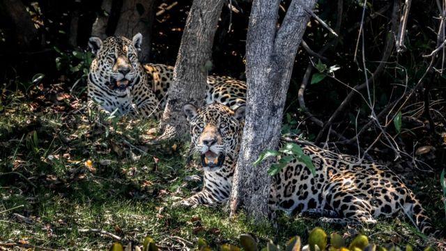 Oncas no pantanal