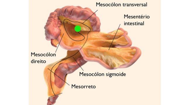 Anatomia do mesentério