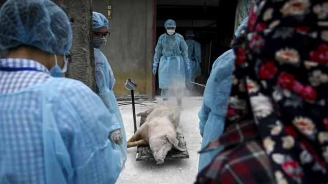 Vets weighing a dead pig in Vietnam before burying it in a quarantined pit