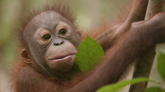 An orphaned orang utan swings through the trees in a rescue centre near the concession.