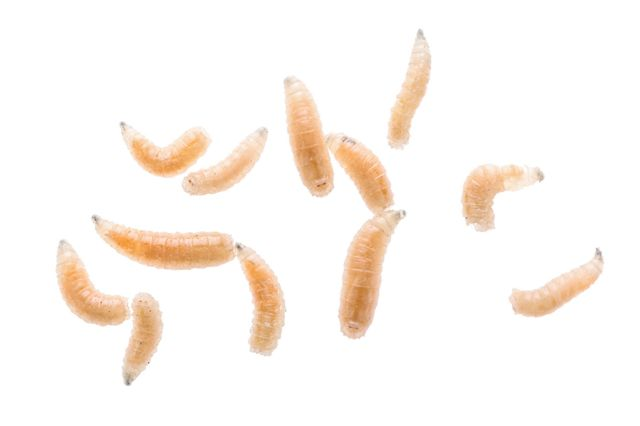larve de vierme