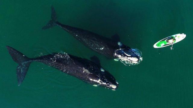 Ballenas bañándose acercándose