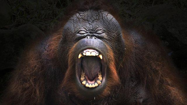 Orangotango com a boca aberta