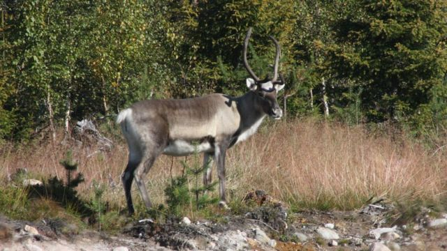 Cervídeos em Rovaniemi, na Lapônia